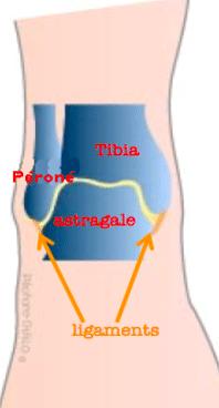 Anatomie de la cheville : la place des ligaments