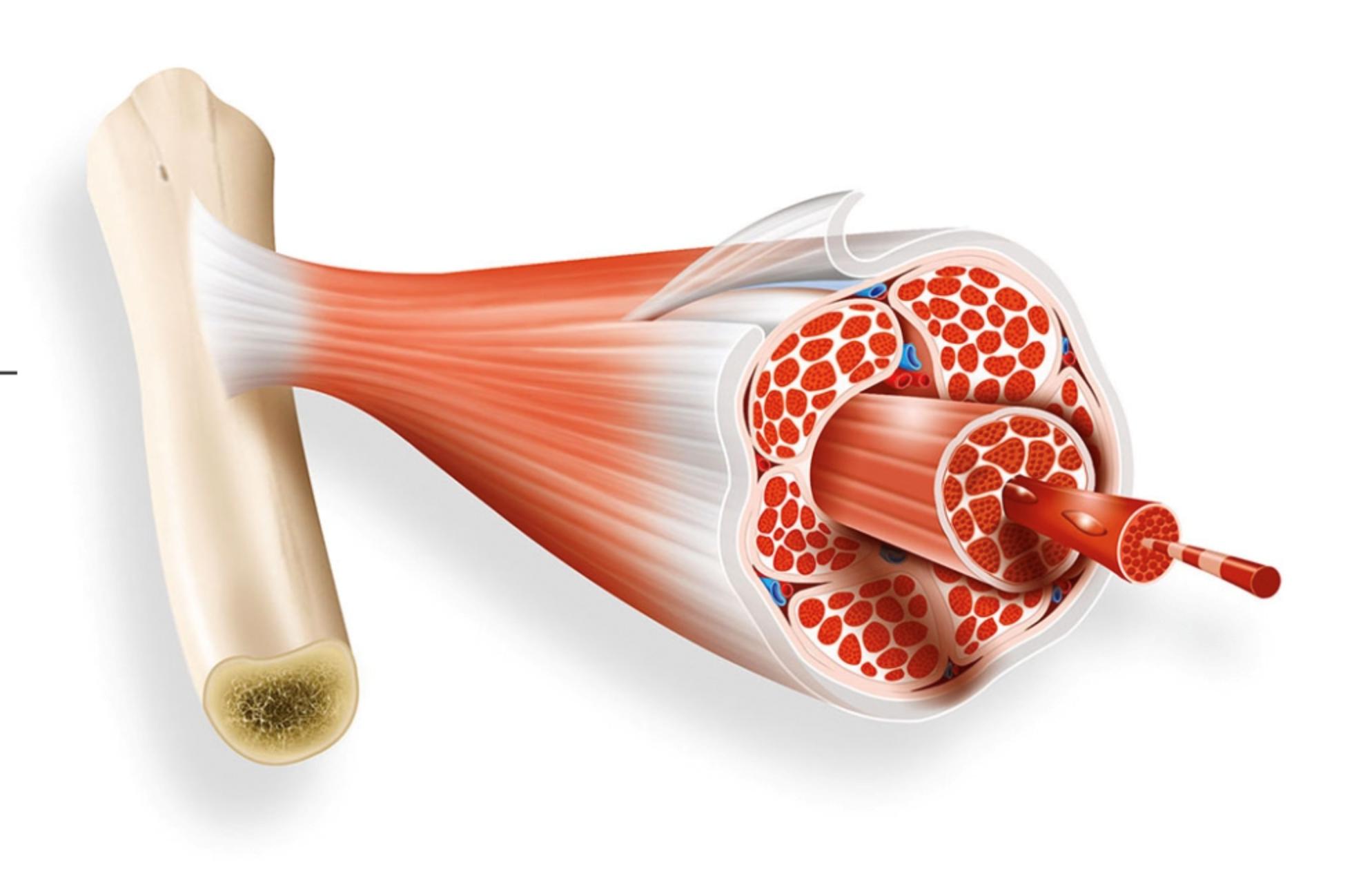 Tendinite du tendon d'Achille : les tendons transmettent la force du muscle