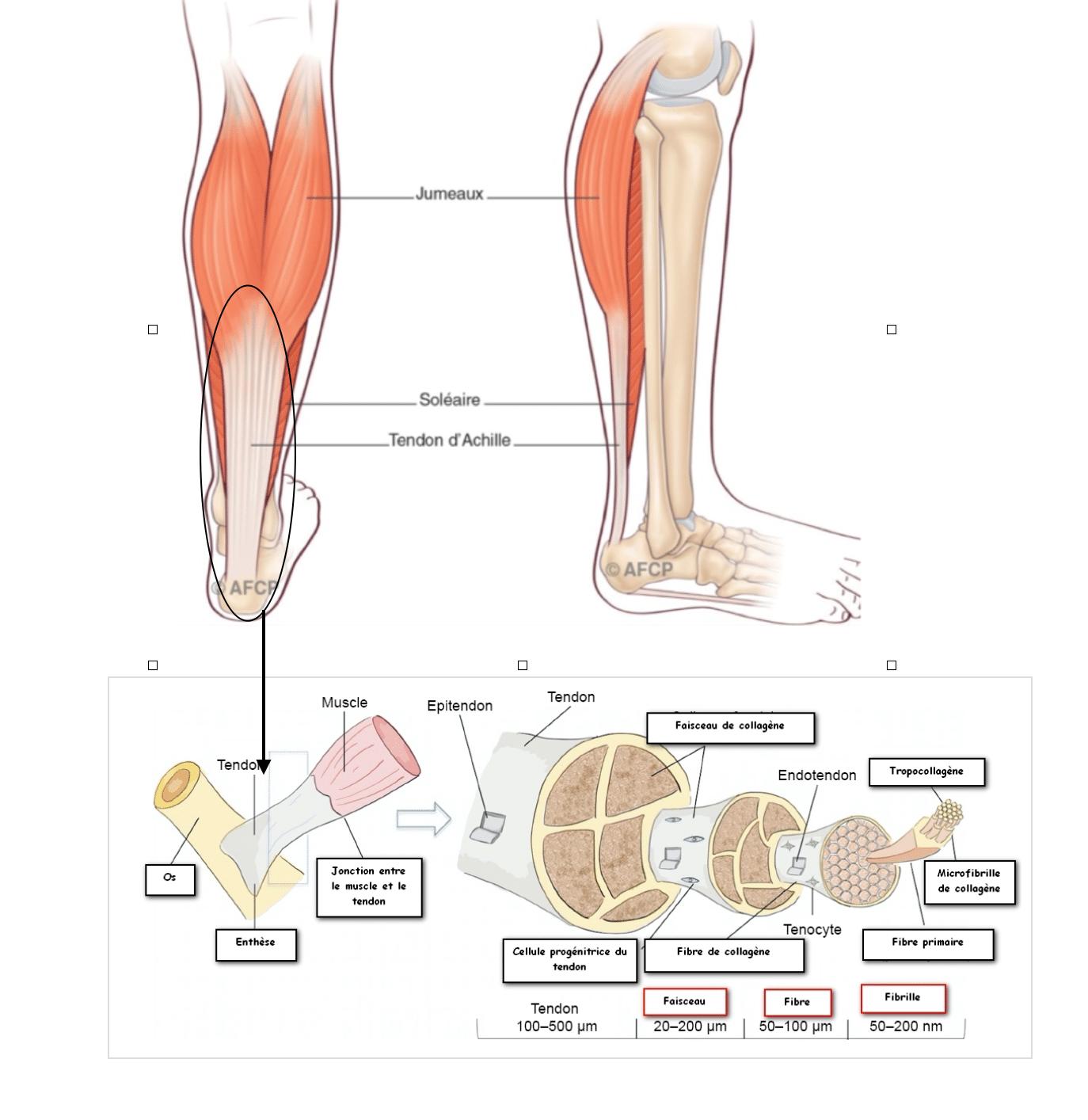 Le tendon d'Achille : qu'est-ce que c'est ?