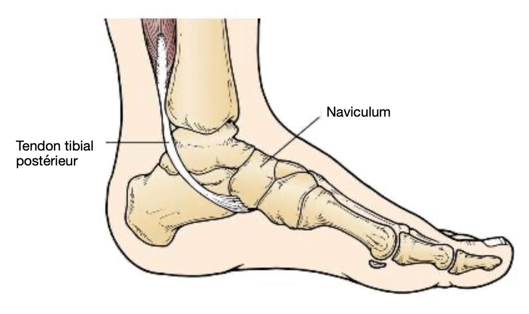 Pathologie du pied : anatomie de l'os naviculaire