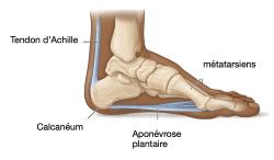 Anatomie de l'aponévrose plantaire