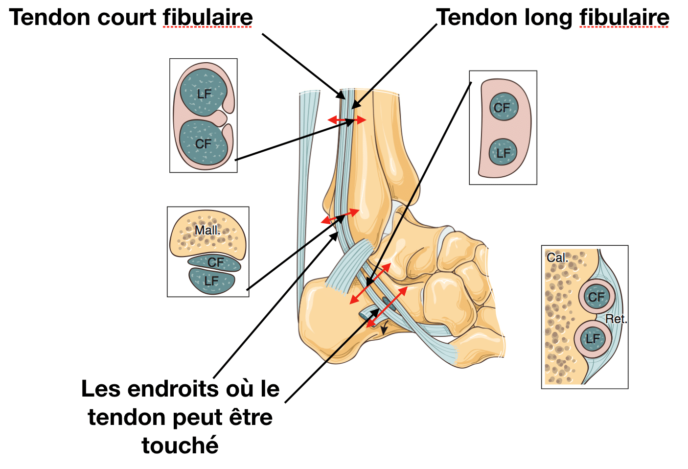 Tendon fibulaire : anatomie