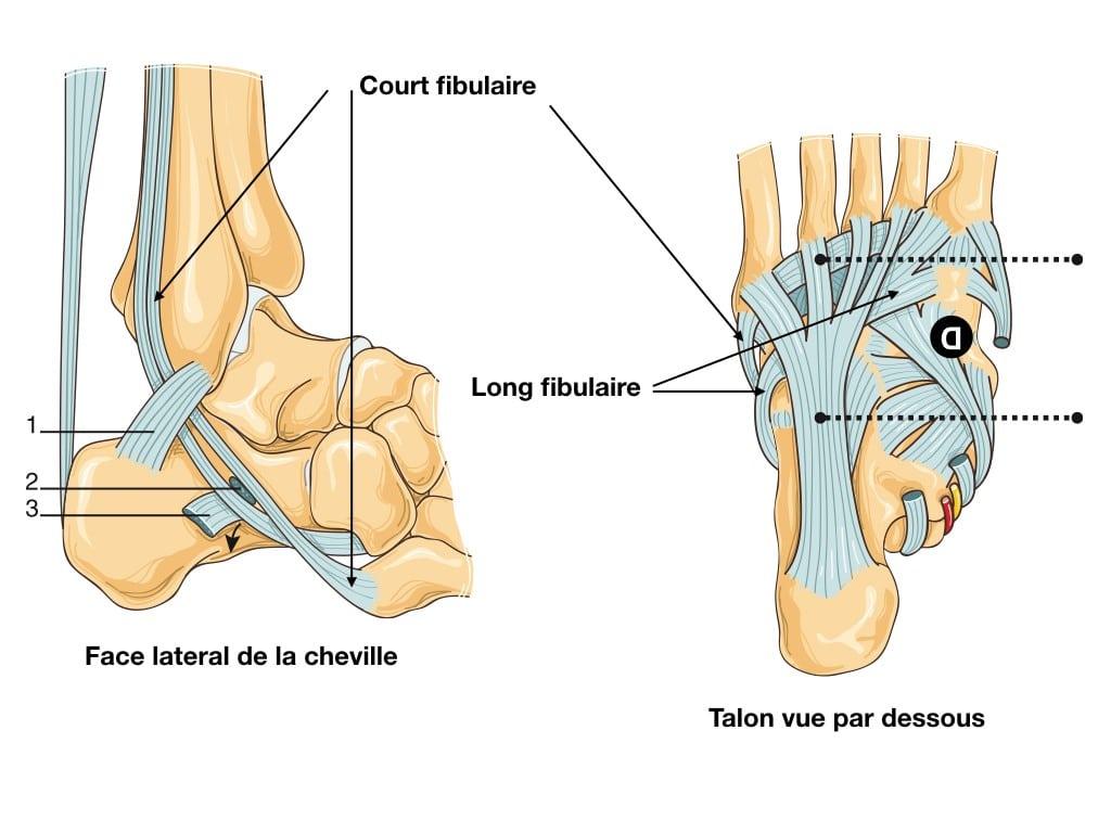 Tendons fibulaires : anatomie