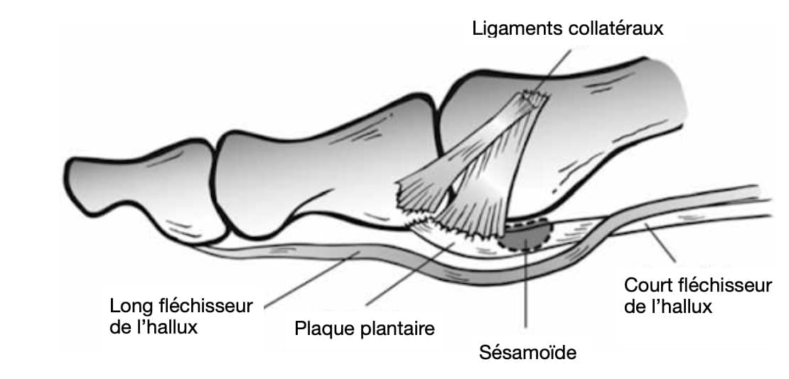 Turf toe : anatomie du pied