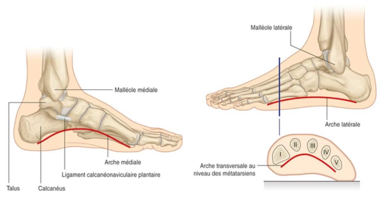Pied plat : anatomie