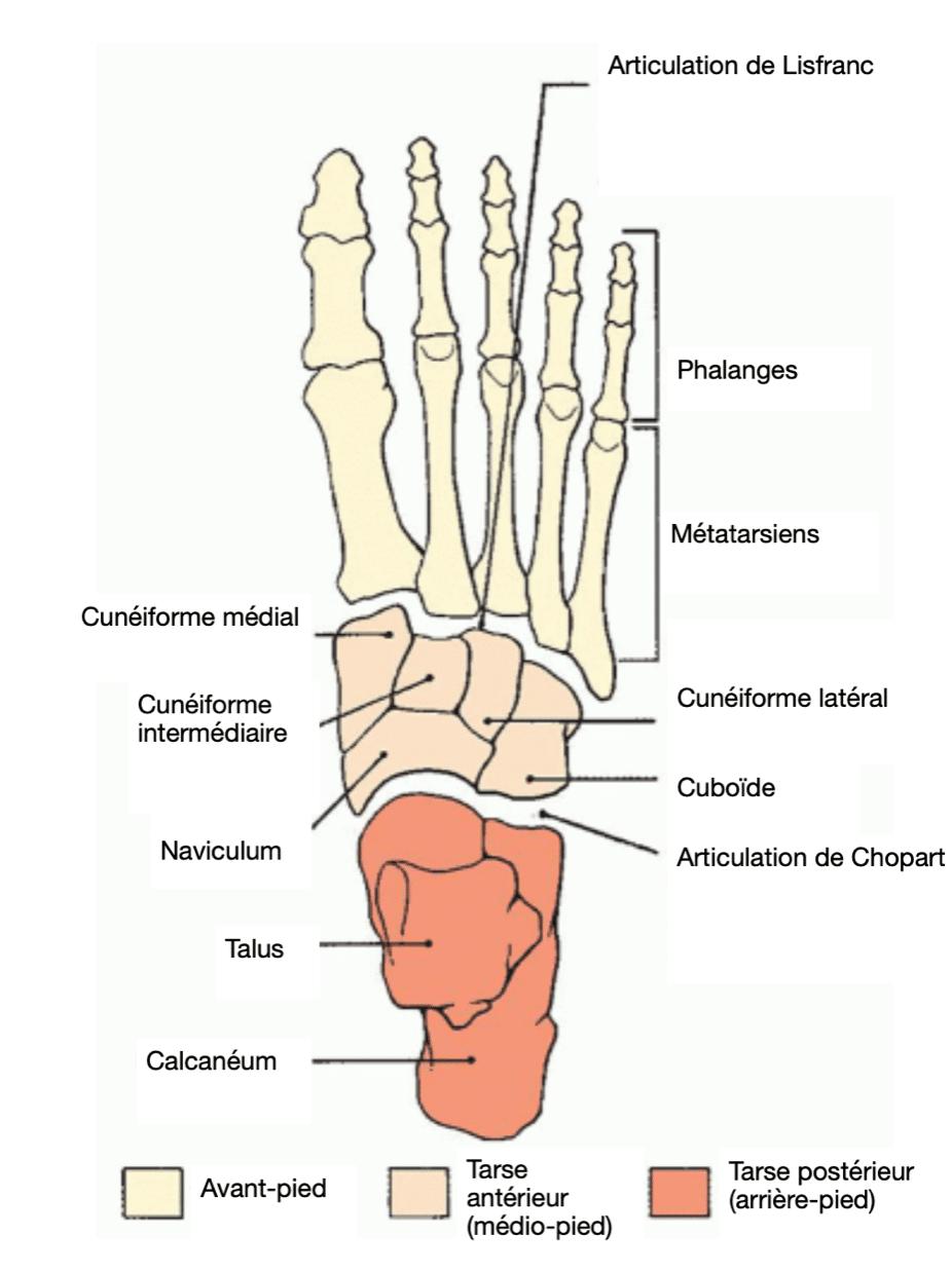 Les coalitions du tarse postérieur : anatomie