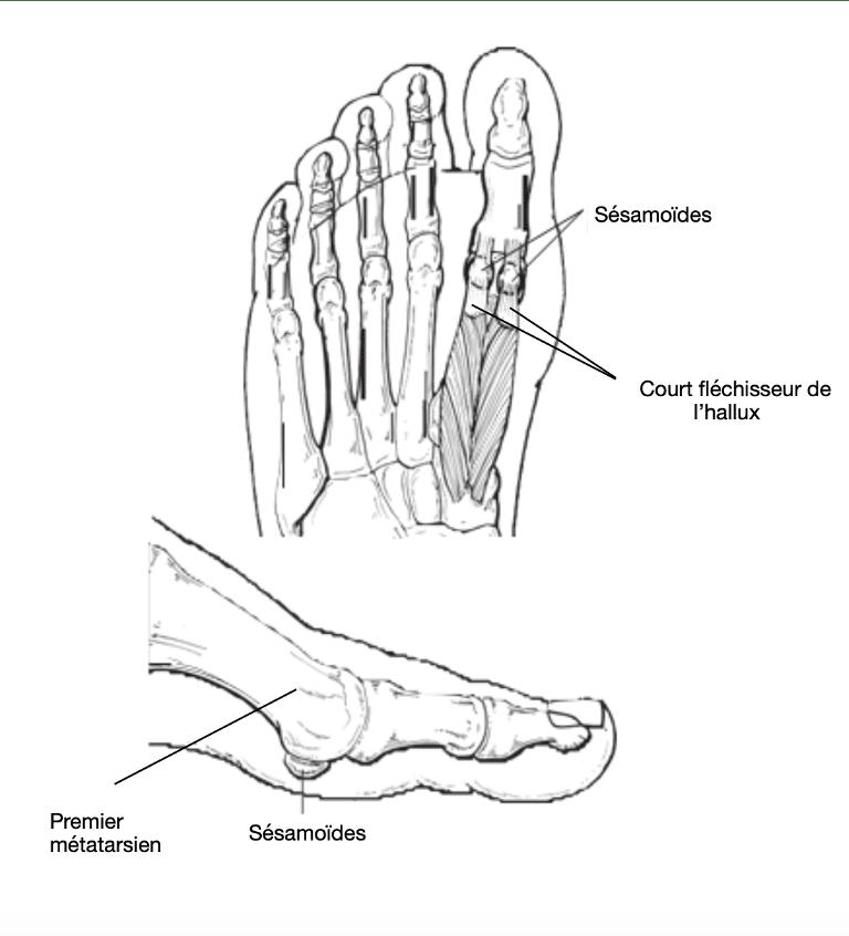Sésamoïde : os insérés à l'intérieur d'un tendon