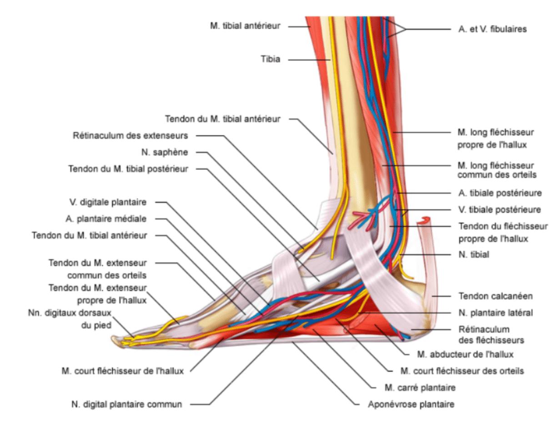 Les ligaments de la cheville
