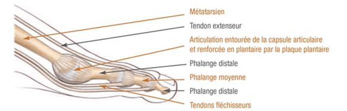 Les tendons et phalanges qui composent le pied